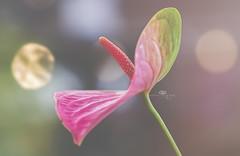 exclamation point (rockinmonique) Tags: flower floral petal bloom blossom bokeh macro pink green moniquew canon canont6s tamron copyright2017moniquew