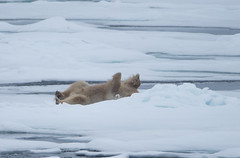 DSC_3521 (stacyjohnmack) Tags: july23 polarbear artic