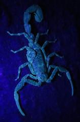 Tityus cf. silvestris, thick-tailed scorpion (Birdernaturalist) Tags: wings fluorescence buthidae cristalino cristalinojunglelodge richhoyer miscinvert