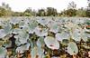 pods, Kenilworth Aquatic Gardens (Lawrence Cheng Photography) Tags: autumn dc seedpod brenizer kenilworthaquaticgardens bokerama