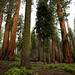 Floresta de gigantes mesmo
