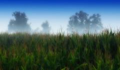 Fog (~Simmy~) Tags: sky plant nature field fog landscape nebel outdoor sommer natur himmel august nikkor landschaft bume morgens 2470mm morgennebel morgenlicht maisfeld morgenstimmung d810 landschaftsfotografie nebelstimmung