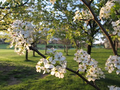 Spring prunus blossoms on the Lakes Golf Links (spelio) Tags: walk sept 2015 spring act canberra evening sunset ngunnawal 2913 fave lakesgolf