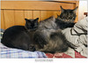Greater and Lesser Squires (Sherwood Harrington) Tags: cats pets guinness cooper mainecooncat sableburmese iwsgclunarcoonscopernicus