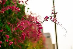 """""""El jardín de mi mamá"""". (yamircuevas) Tags: pink naturaleza flower nature leaves garden hojas flor rosa rosas jardín pozarica"""