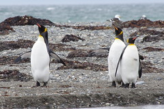 King Penguins, Punta Arenas, Chile (ARNAUD_Z_VOYAGE) Tags: chile park city sunset sea sky people horse orange sun green cars water birds animal yellow clouds america river landscape grey boat town south southern punta whales arenas threes