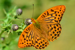 Silver-Washed Fritillary (heathernewman) Tags: orange macro green beautiful closeup butterfly insect wings pattern thistle somerset sparkling fritillary exmoor silverwashedfritillary