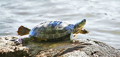 Stretching Turtle (sea turtle) Tags: canada vancouver turtle britishcolumbia tortoise stretch robson stanleypark westend robsonstreet denman denmanstreet redearedslider