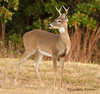 Young 6-point (Lindell Dillon) Tags: oklahoma nature deer buck whitetail crosstimbers lindelldillon