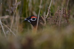 Red Grouse. (jimbrownrosyth) Tags: redgrouse