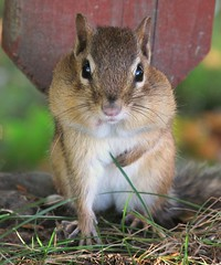 Petit suisse -- Little chipmunk (Gilles Gonthier) Tags: canada nature animal mammal rodent chipmunk qubec rodentia mammifre tamia tamiasstriatus sciuridae rongeur easternchipmunk petitsuisse canonpowershotg7 tamiaray 102012 gillesgonthier ggg7145662012