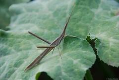 Truxale occitane - Acrida ungarica mediterranea (Mathias Dezetter) Tags: animal fauna insect maroc marrakech animaux insecte faune brousse invertbr arhtropode