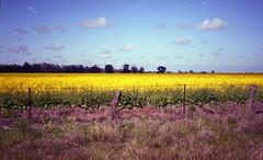 Canola Field (hazro83) Tags: 35mm country australia crop fujifilm canola wagga expiredfilm fujicolor olympustrip fuji400