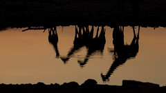 Upside down (Thomas Retterath) Tags: africa reflection nature animals canon tiere wildlife ngc natur npc afrika giraffe mammals namibia spiegelbild allrightsreserved herbivore 2015 giraffacamelopardalis sugetier giraffidae pflanzenfresser etoshanationalpark okaukejo thomasretterath eos5dmarkiii copyrightthomasretterath ef300lis28usm