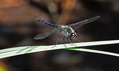 Schwarze Heidelibelle, Sympetrum danae (staretschek) Tags: sympetrumdanae segellibelle schwarzeheidelibelle schwarzelibelle