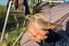 Blauwborst (Marc Nollet) Tags: vogelfotografie vogel vogels ringen ringwerk antoine bird birds birdwatcher birding birdringing nollet eendekooi lissewege