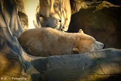Schlafender Eisbär / Sleeping Polar Bear (R.O. - Fotografie) Tags: eisbär polar bear polarbear schlafen sleeping erlebniszoo hannover erlebnis zoo tier animal closeup close up panasonic lumix dmcfz1000 dmc fz1000 fz 1000 outdoor