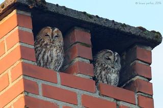 Tawny Owl, Chouette hulotte (Strix aluco)