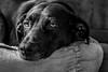 Haley relaxing (FitzJohnson) Tags: ddc dailydogchallenge dog pet relaxing furbaby labradorretriever labrador labmix haley resting comfort blackandwhite bw blackwhite monochrome monochromatic canon canonrebel eos t3i 600d nebraska portrait