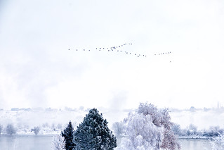 Geese on a Cold Morning