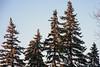 Pin Trees (caribb) Tags: montreal montréal quebec québec canada urban city 2017 tree trees arbes urbantrees sunset sunlight pinecones