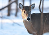 Doe_016a (sknight56) Tags: deer doe whitetail minnesota canon bloomington winter cold snow distinguisheddeer