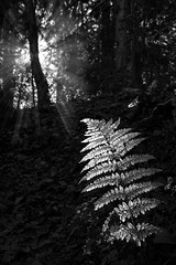 """a fern shines bright in the sun in this black & white study of the Bois de Breuil (Forest of Breuil), Calvados, Normandy, France (grumpybaldprof) Tags: """"boisdubreuil"""" """"forestofbreuil"""" honfleur vasouy penndepie conservation """"conservatoiredulittoral"""" rhododendrons """"coastalconservancy"""" bois forest trees deciduous coniferous wood woods coastline """"dukesofnormandy"""" french kings """"philippeauguste"""" breuil wildlife wildboar """"pinemarten"""" """"redfox"""" deer calvados normandy france """"blackwhite"""" """"blackandwhite"""" monochrome bw contrast light bright gleam fern sunshine sunlit winter tamron 16300 16300mm """"tamron16300mmf3563diiivcpzdb016"""" outside forestwalk stack photostack"""