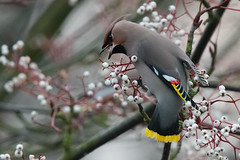 Waxwing with red in the tail (Tim Melling) Tags: bombycilla garrulus bohemian waxwing red tail shafts south yorkshire timmelling
