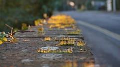 Moss Growing on a Wall (grey_goshawk) Tags: moss wall sunlight road
