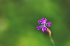Little weed flower (S♡C) Tags: flower macro weed purple tamron pland outdoor