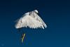 Tiptoe Landing (Patricia Ware) Tags: ballonawetlands birdsinflight blue california canon ef400mmf56lusm egrettathula handheld playadelrey snowyegret white httppwarezenfoliocom ©2016patriciawareallrightsreserved marinadelrey unitedstates us specanimal
