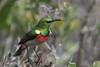 DSC_7239 (mylesm00re) Tags: m africa cinnyrischalybeus kleinrooibandsuikerbekkie nectariniidae sanparks southafrica southerndoublecollaredsunbird westcoastnationalpark westerncape bird mimobi