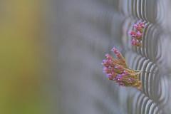 Pretty purple  - Fenced Friday - (S♡C) Tags: fence fencedfriday purpletop weed flowers bokeh railway