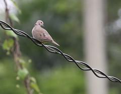 Eared Dove (Charadriimaniac) Tags: flickr trinidadtobago2016 eareddove scarborough westerntobago trinidadandtobago tt