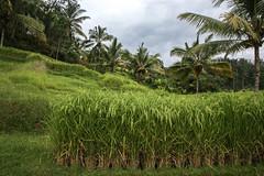IMG_4390 (FelipeDiazCelery) Tags: indoensia bali arroz camposarroz ricefields workers farmer granjero trabajador granja verde green