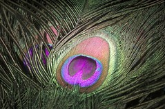 (Periklen) Tags: peacock feather 300mm hasselbad hc300 leica leicas colour peafowl eyespot ocellus plumage