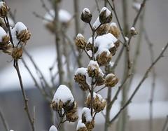 hybiscus in de sneeuw (Gerard Stolk (vers l'Assomption de la Vierge)) Tags: delft winter sneeuw hybiscus