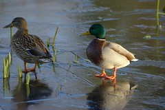 Ducks/Ice (Tony Tooth) Tags: nikon d7100 nikkor 55300mm ducks ice frozen pond wildlife birds mallard winter broughpark leek staffs staffordshire
