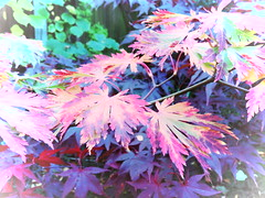IMG_0221 (starst0rm*<(*?*)>*) Tags: acers trees china