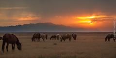 when you are tired3 (Jami Bollschweiler Photography) Tags: wild horse onaqui herd utah great basin sunset wildlife image horses