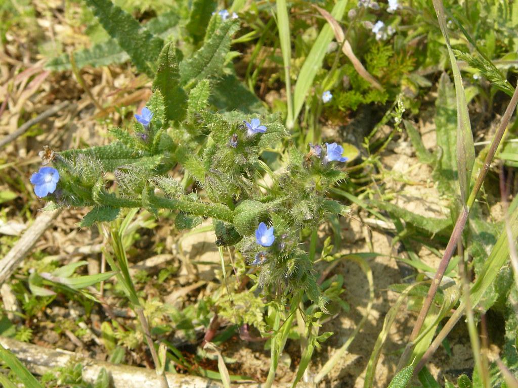 Anchusa arvensis- Acker Ochsenzunge