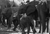 we are family (but I want to go this way mammy) (thomas.reissnecker) Tags: africa elephants bw monochrome wildlife victoriafalls simbabwe safari travel ngc