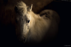 snow white (Jen MacNeill) Tags: horse horses equine pony light shadow moody