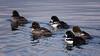 follow that duck (marneejill) Tags: goldeneye ducks male female group french creek marina