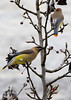 _98A5470 (wvsawwhet) Tags: westvirginia wv westvirginiabirds bird birding birds birdwatching birdsofwestvirginia cedar marioncounty waxwing