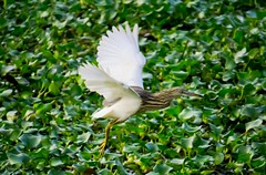 Flight of a Heron (Divya Dinakar) Tags: pondheron heron india kerala alleppey alleppeybackwaters alleppeyhouseboat alleppeydiaries travel travelindia birds birdphotography flight caughtinaction majesticelegance sonya6000