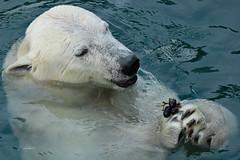 Lale (K.Verhulst) Tags: polarbear polarbears ijsberen ijsbeer bears beren beer lale emmen wildlandsadventurezoo wildlands bear