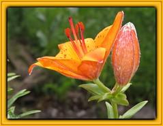 Lilie / Lilium umbellatum (Martin Volpert) Tags: mavo43 blüte blume flor cvijet kvet blomster flower floro õis lore kukka fleur bláth virág blóm fiore flos žiedas zieds bloem blome kwiat floare ciuri flouer cvet blomma çiçek pflanze lilie liliumumbellatum