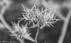 flora naturale (fiorellomannaia) Tags: selvatico selvaggio santasevera nature marenatura macchiatonda regionelazio oasi areaprotetta wild aurelia flora avifauna park fauna riservanaturale castello civitavecchia