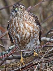 Sharp-shinned Hawk (richmondbrian) Tags: sharpshinned hawk